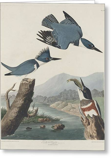 Belt Drawings Greeting Cards - Belted Kingfisher Greeting Card by John James Audubon