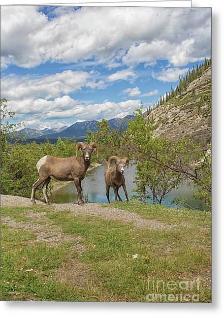 Bighorn Sheep In The Rocky Mountains Greeting Card by Patricia Hofmeester