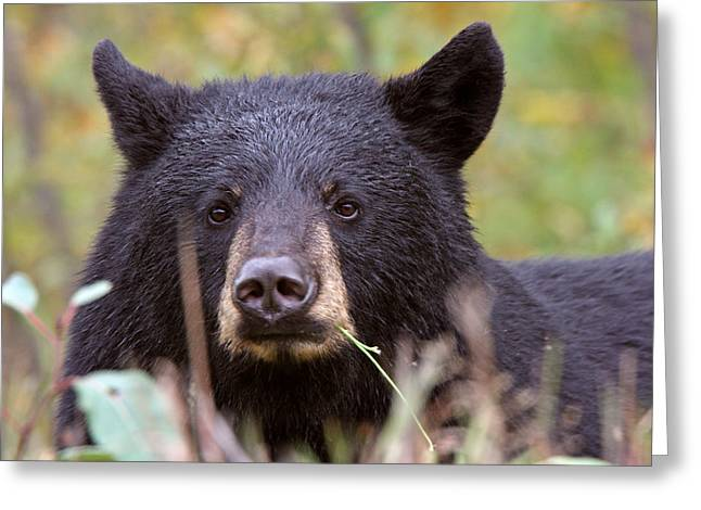 Black Bear Along British Columbia Highway Greeting Card by Mark Duffy