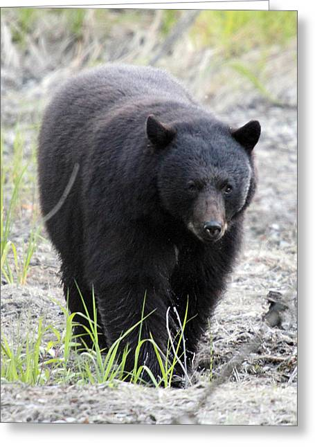 Hibernation Greeting Cards - Black Bear at One Mile Lake Pemberton Greeting Card by Pierre Leclerc Photography
