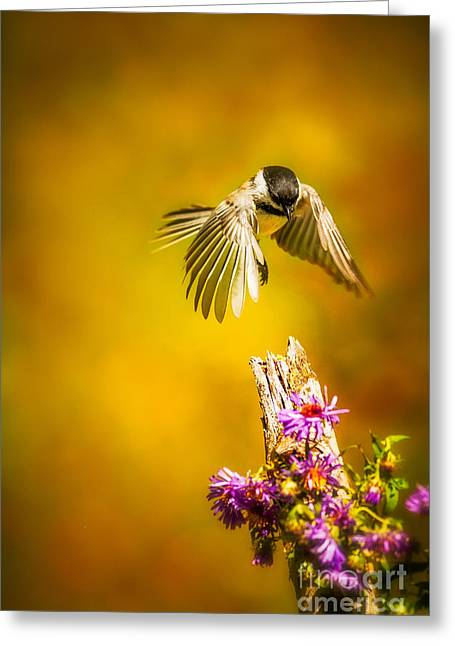 Back Yard Birds Greeting Cards - Black Capped Chickadee Greeting Card by Todd Bielby