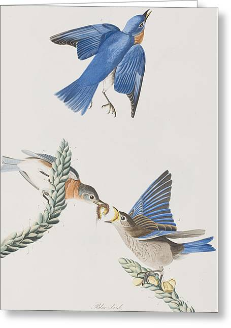 Blue Claws Greeting Cards - Blue-Bird Greeting Card by John James Audubon