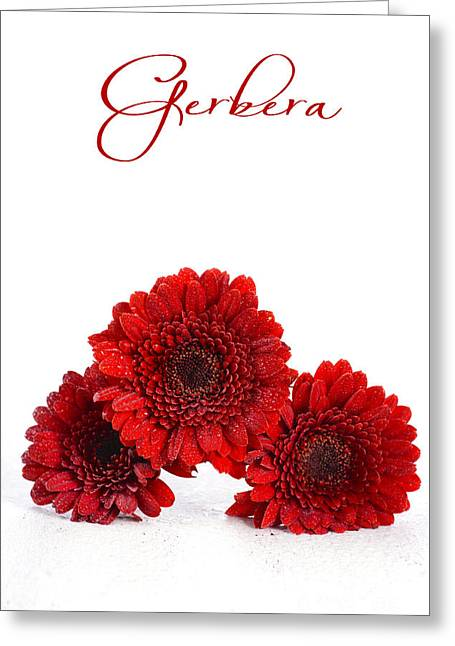 Tabletop Greeting Cards - Bright red gerbera daisy flowers Greeting Card by Milleflore Images