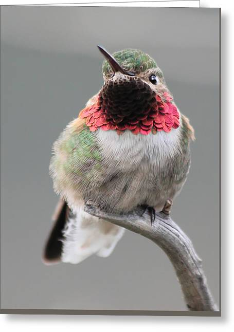 Broad-tailed Hummingbird Greeting Card by Shane Bechler