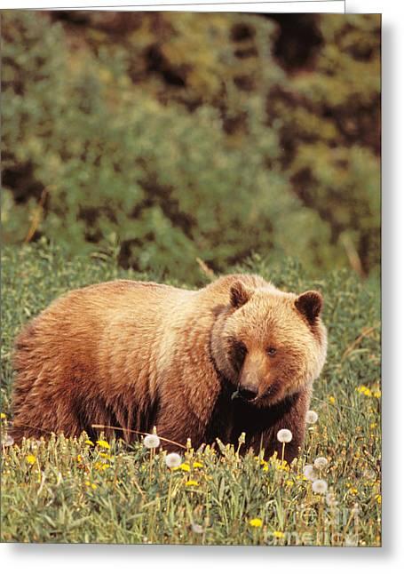 Bear Tracks Greeting Cards - Brown Bear Greeting Card by John Hyde - Printscapes