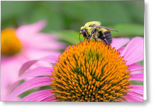 Bumblebees Greeting Cards - Bumble Bee on Coneflower Greeting Card by Jim Hughes