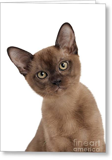 Burmese Kitten Greeting Card by Jean-Michel Labat