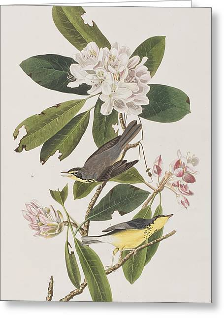 Warblers Greeting Cards - Canada Warbler Greeting Card by John James Audubon