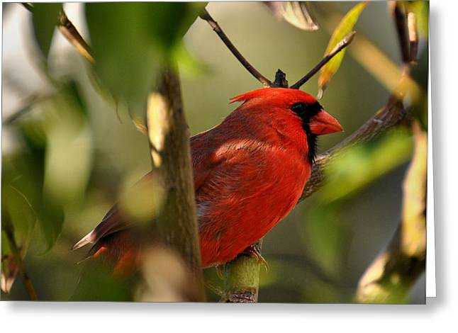 Tree Limbs Greeting Cards - Cardinal 2 Greeting Card by Todd Hostetter