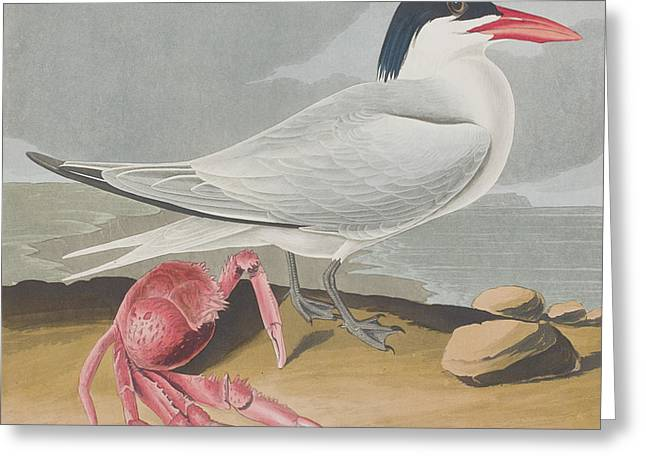 Ocean Shore Drawings Greeting Cards - Cayenne Tern Greeting Card by John James Audubon