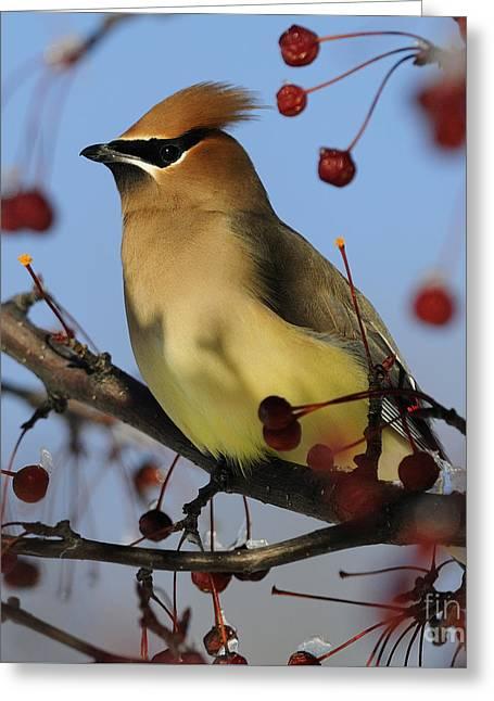 Cedar Waxwing... Greeting Card by Nina Stavlund