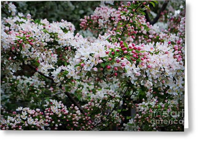 Essential Paintings Greeting Cards - Cherry Blossoms  Greeting Card by Celestial Images