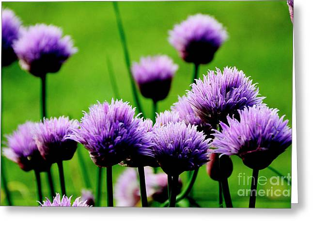 Green Chives Greeting Cards - Chives in Bloom Greeting Card by Thomas R Fletcher