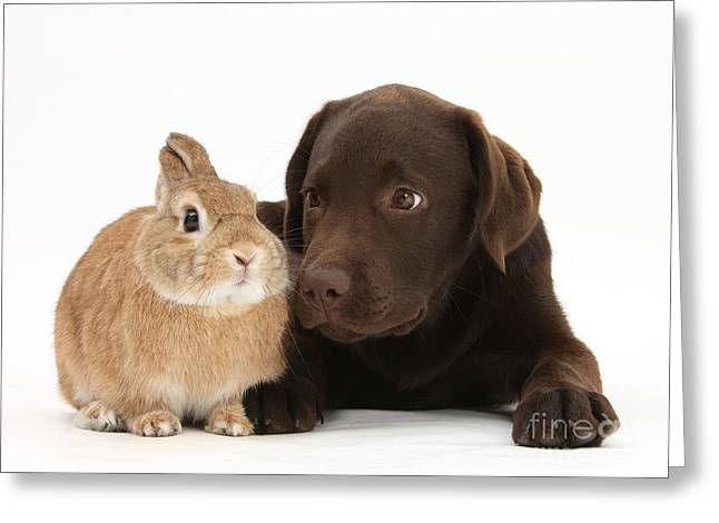 Adorable Bunny Greeting Cards - Chocolate Lab & Netherland-cross Rabbit Greeting Card by Mark Taylor