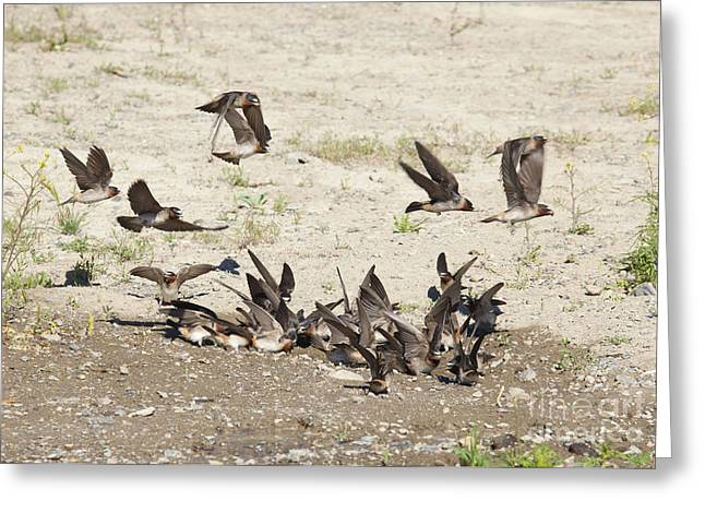 Mud Nest Greeting Cards - Cliff Swallows Gather Mud Greeting Card by Marie Read