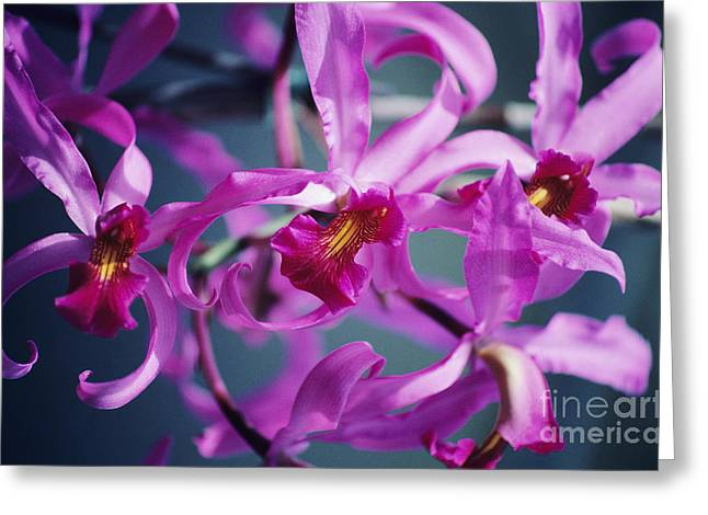 Cattleya Greeting Cards - Cluster Of Pink Greeting Card by Allan Seiden - Printscapes