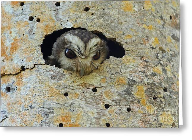 Greater Antilles Greeting Cards - Cuban Screech-owl Greeting Card by Neil Bowman/FLPA