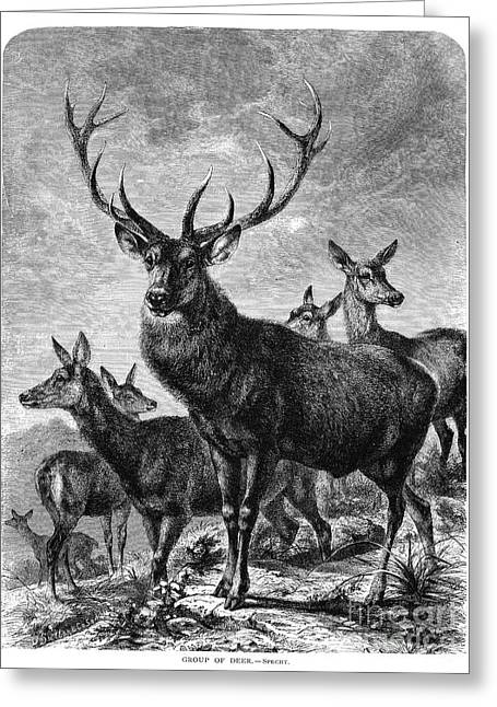 Recently Sold -  - Engraving Greeting Cards - Deer Greeting Card by Granger