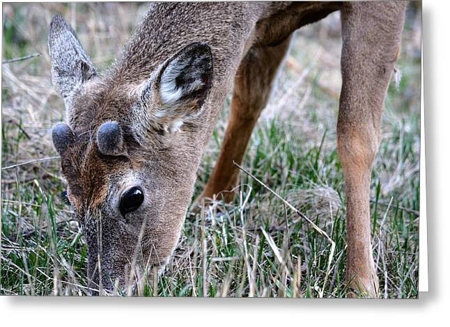 Wild Life Pyrography Greeting Cards - Deer Greeting Card by Olga Photography
