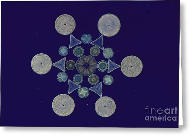 Frustule Greeting Cards - Diatom Arrangement Greeting Card by M. I. Walker