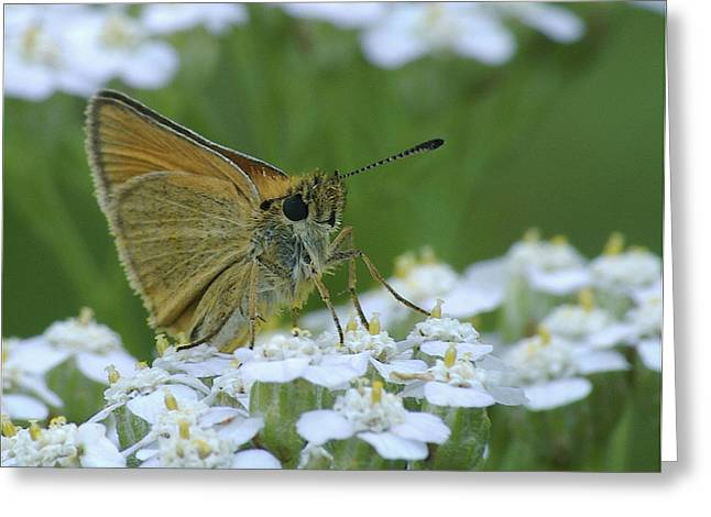 Asters Greeting Cards - Dion Skipper yarrow blossoms Greeting Card by Michael Peychich