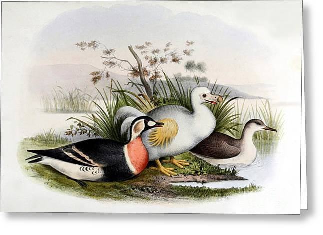 Raphus Cucullatus Greeting Cards - Dodo Bird, Hunted To Extinction Greeting Card by Biodiversity Heritage Library