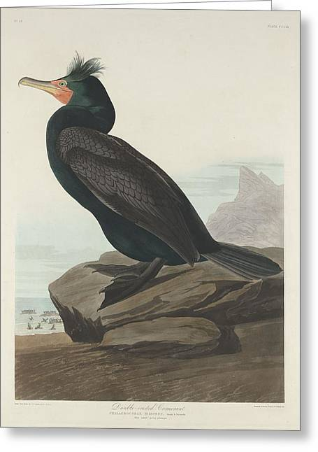 Cormorants Greeting Cards - Double-Crested Cormorant Greeting Card by John James Audubon