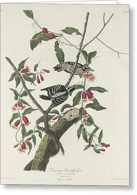 Woodpecker Greeting Cards - Downy Woodpecker Greeting Card by John James Audubon