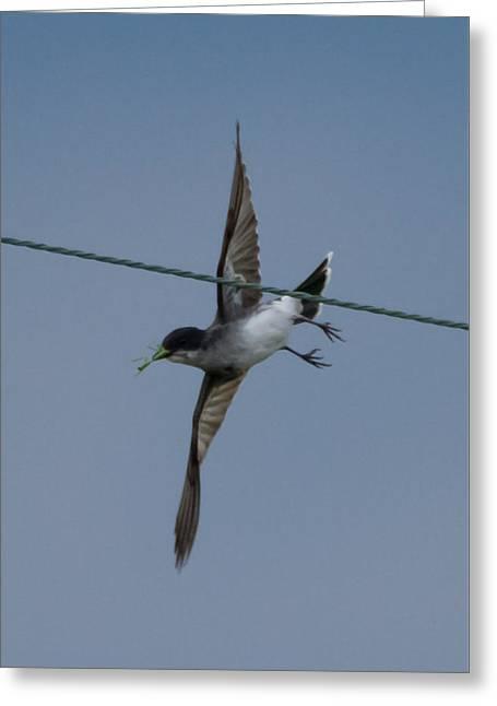 Eastern Kingbird Greeting Cards - Eastern Kingbird Greeting Card by Jan M Holden