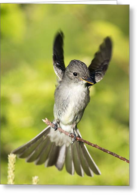 Wildlife Celebration Greeting Cards - Eastern wood pewee Flycatcher Greeting Card by Birds Only
