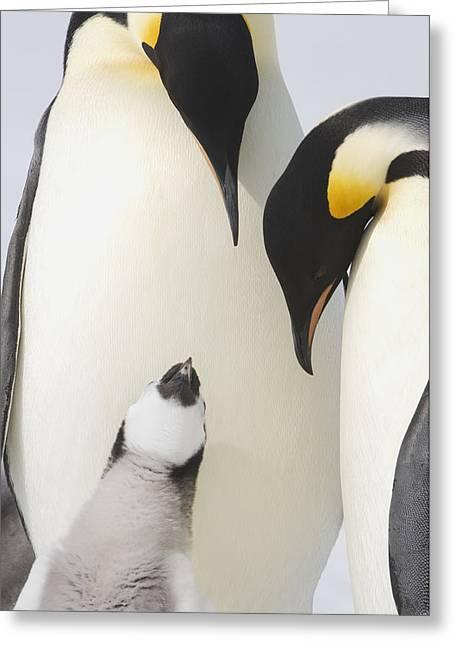 Aptenodytes Forsteri Greeting Cards - Emperor Penguin  Aptenodytes Forsteri Greeting Card by Daisy Gilardini