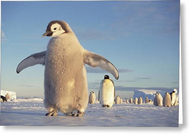 Aptenodytes Greeting Cards - Emperor Penguin Aptenodytes Forsteri Greeting Card by Tui De Roy