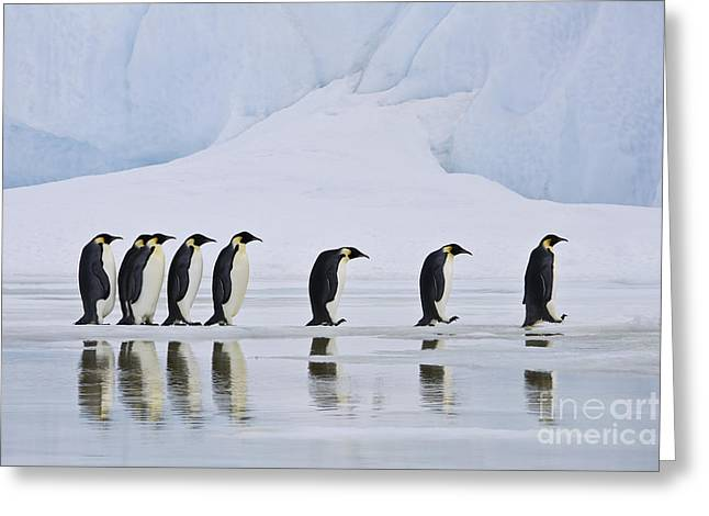 Reflection In Water Greeting Cards - Emperor Penguins Greeting Card by Jean-Louis Klein & Marie-Luce Hubert