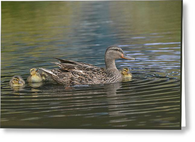 Baby Mallards Greeting Cards - Family Ties Greeting Card by Fraida Gutovich