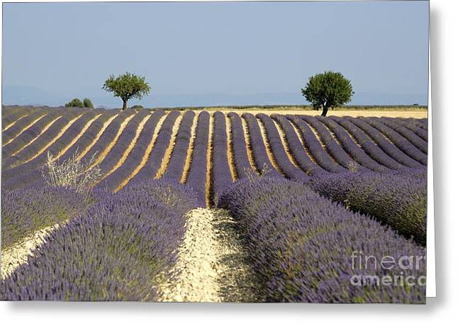 Lavender Fields Greeting Cards - Field of lavender. Provence Greeting Card by Bernard Jaubert