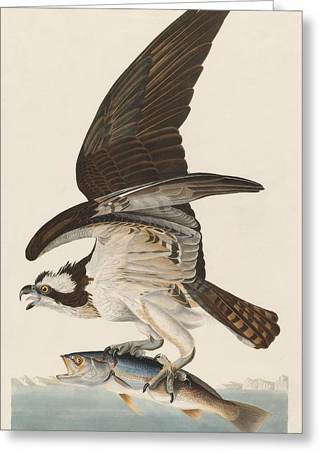 John James Audubon (1758-1851) Drawings Greeting Cards - Fish Hawk Greeting Card by John James Audubon