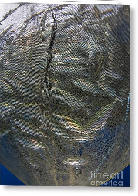 Undersea Photography Greeting Cards - Fishing Net With Silvery And Golden Greeting Card by Mathieu Meur