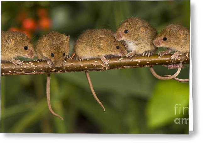 Mouse Photographs Greeting Cards - Five Eurasian Harvest Mice Greeting Card by Jean-Louis Klein & Marie-Luce Hubert