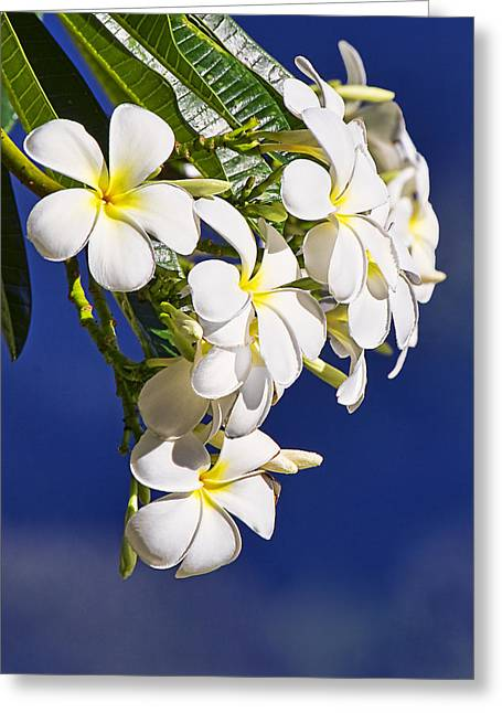 Artist Photographs Greeting Cards - Frangipani Greeting Card by Marcia Colelli
