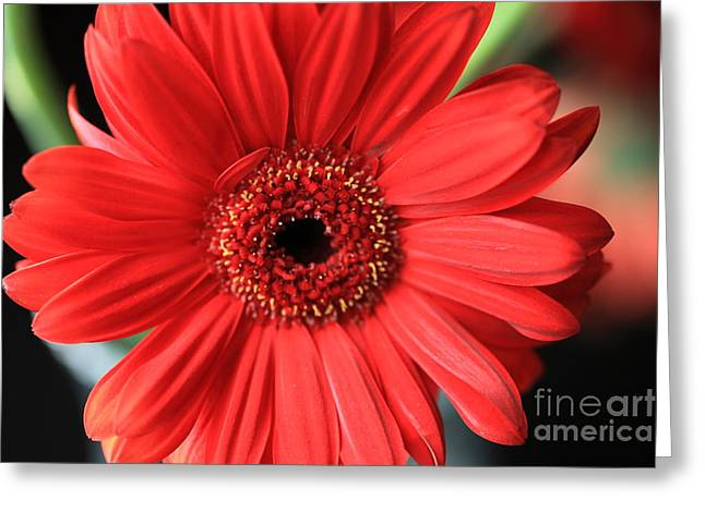 Gerber Greeting Cards - Gerbera Greeting Card by Amanda Barcon