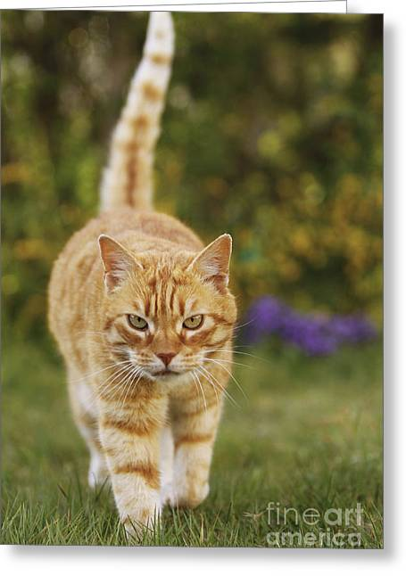Moggy Greeting Cards - Ginger Cat In Garden Greeting Card by Jean-Michel Labat