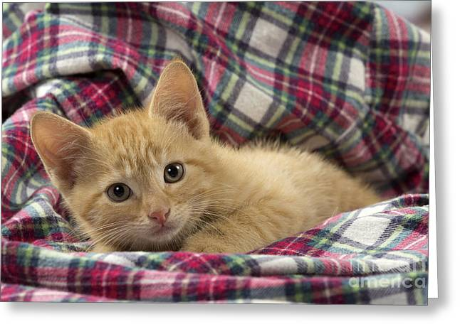 Plaid Shirt Greeting Cards - Ginger Kitten Greeting Card by Jean-Michel Labat
