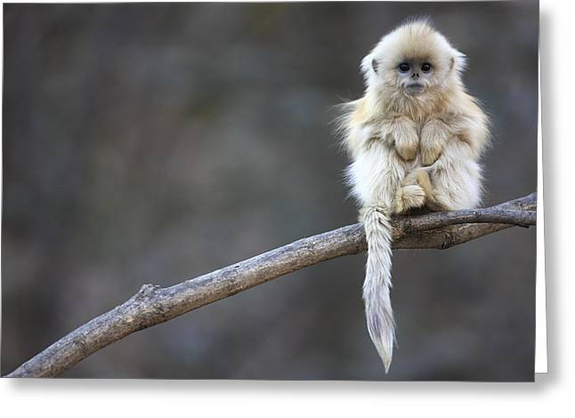 Monkey Greeting Cards - Golden Snub-nosed Monkey Rhinopithecus Greeting Card by Cyril Ruoso
