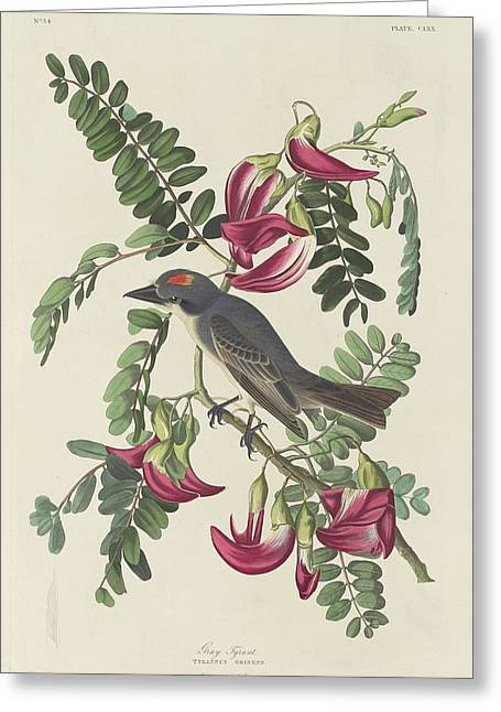 Small Bird Greeting Cards - Gray Tyrant Greeting Card by John James Audubon