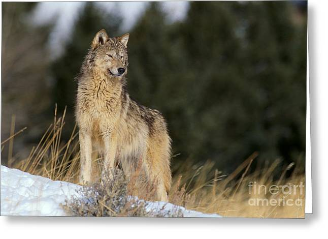Brush Wolf Greeting Cards - Gray Wolf Greeting Card by John Hyde - Printscapes