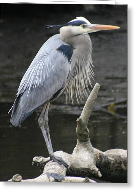 Wader Greeting Cards - Great Blue Greeting Card by Christopher Kirby