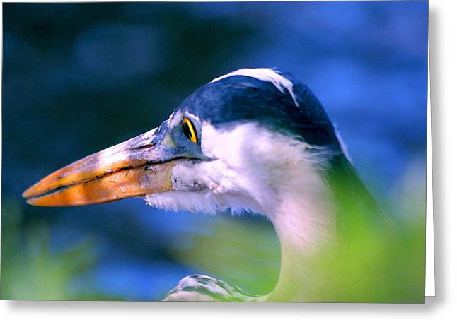 Titusville Greeting Cards - Great Blue Heron Greeting Card by W Gilroy