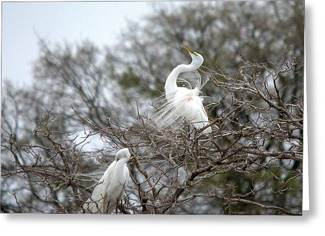 Hunting Bird Greeting Cards - Great Egret Breeding Plummage Greeting Card by Roy Williams