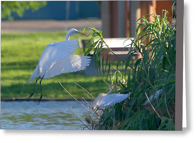 Hunting Bird Greeting Cards - Great Egret In Flight With Nest Material - Painterly Greeting Card by Roy Williams