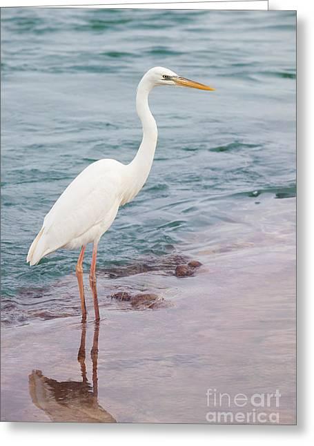 Great White Heron Greeting Card by Elena Elisseeva